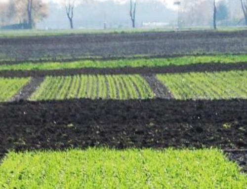 Stan zbóż ozimych 15.10.2019