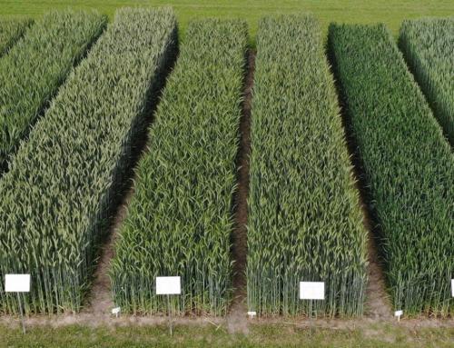 Krajowy pokaz polowy postępu genetycznego odmian roślin uprawnych Chrząstowo 20-21.06.2020 r.