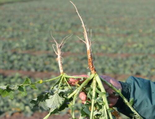 Kolekcja odmian w Grubnie przed zimą