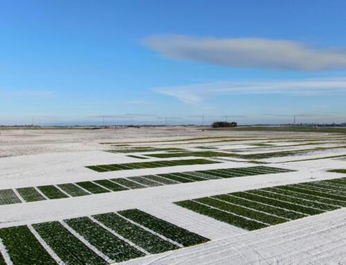 Kolejny piękny zimowy dzień w Minikowie i pogląd na poletka odmianowe
