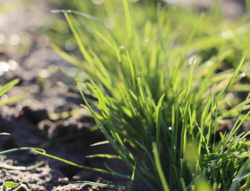 Ocena stanu traw przed zimowaniem