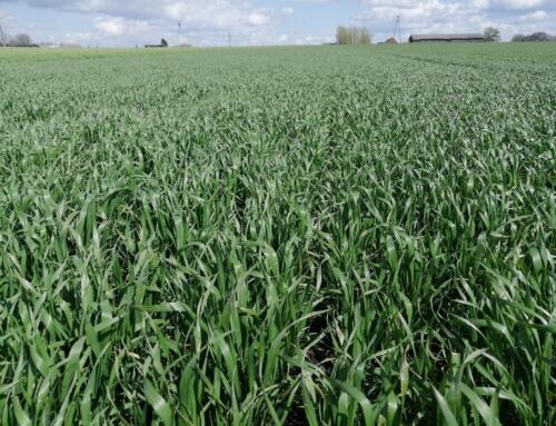 """OZIMINY powoli przyspieszają, zboża jare nieśmiało się krzewią, kukurydza """"siedzi w glebie"""""""