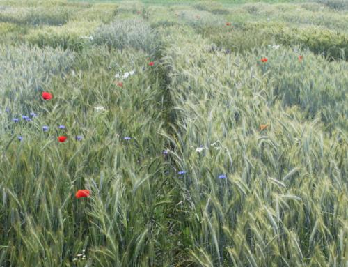 Dobór odmian zbóż do uprawy w gospodarstwach ekologicznych  na podstawie prowadzonych doświadczeń.