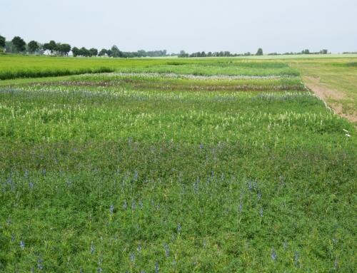 Stan roślin bobowatych w połowie czerwca