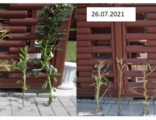 Minikowo – bobowate i soja 26.07.2021 r.